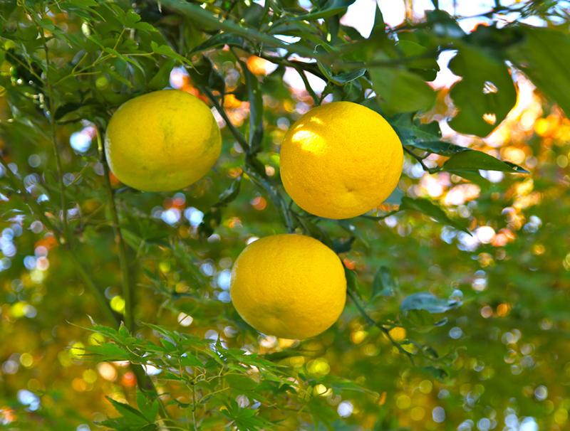 citrus10