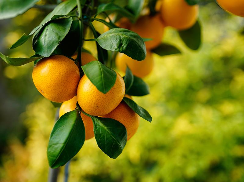 citrus8