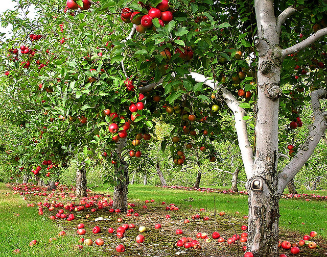 Complete Guide on How to start a Home Fruit Farming by Cultivating Apples, Pears, Cherries, Plums and Peaches