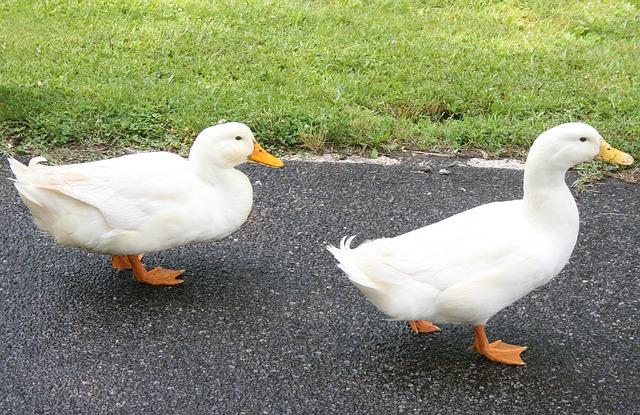 ducks-381961_640