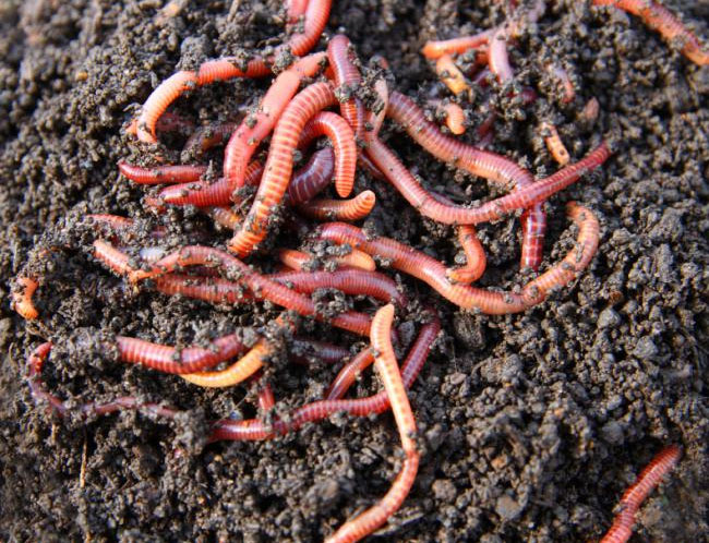 Ways to Increase the Number of Earthworms in Your Garden Soil