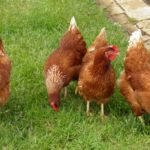 10 Reasons You Should Have Backyard Chickens