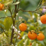 10 Citrus Trees That Can be Grown In a Pot