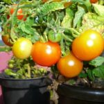 Growing Potted Tomatoes