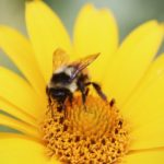 Bees Suffer in Urban Environments, According to New Study